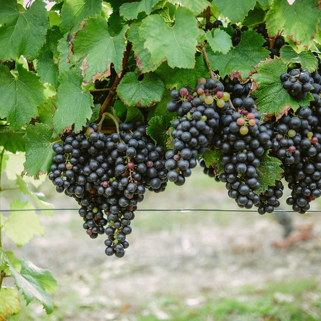 - Pic Saint Loup winetour