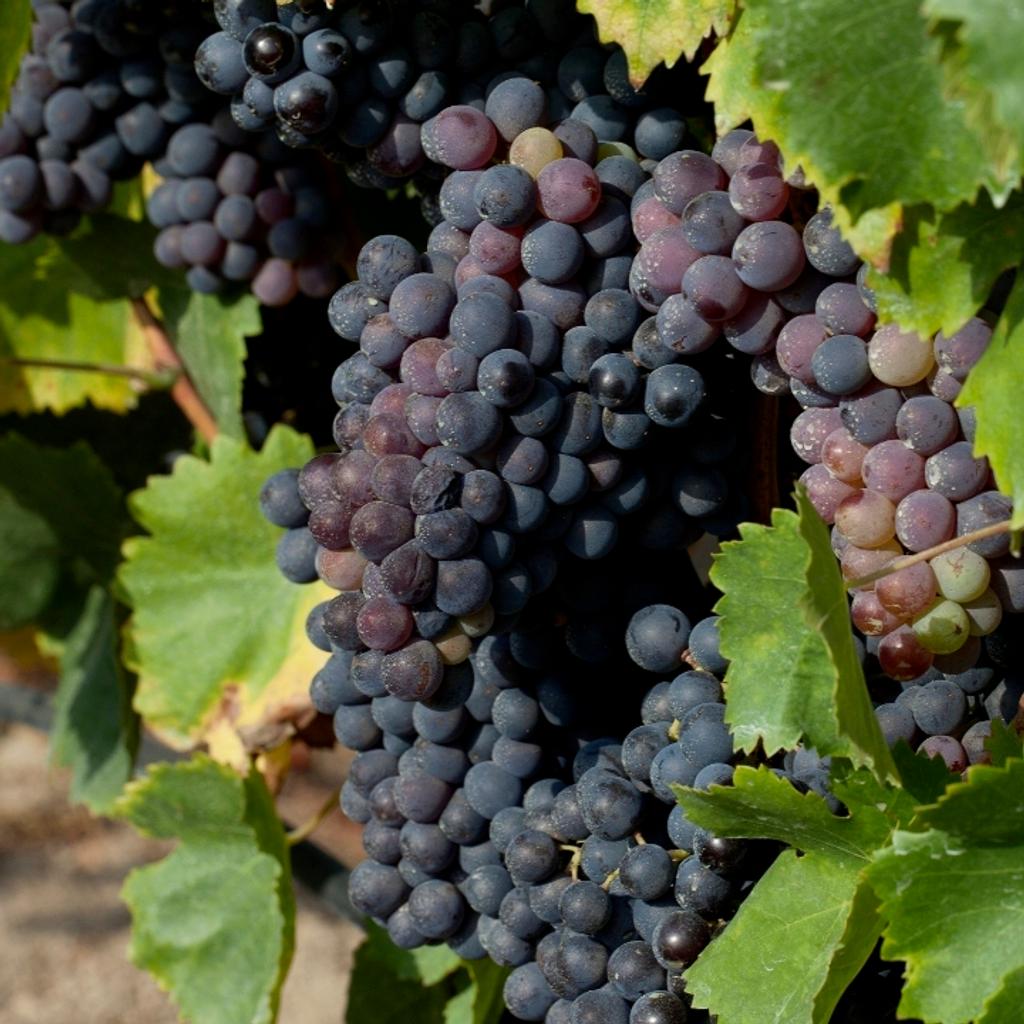 Visita viñedo en el portal de la Costa Brava