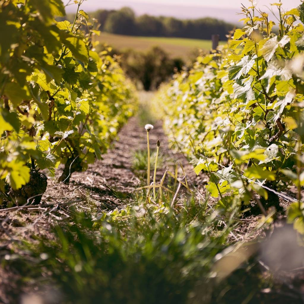 Champagne Bio & vineyard in Agroforestry - Visit a vineyard like no other.
