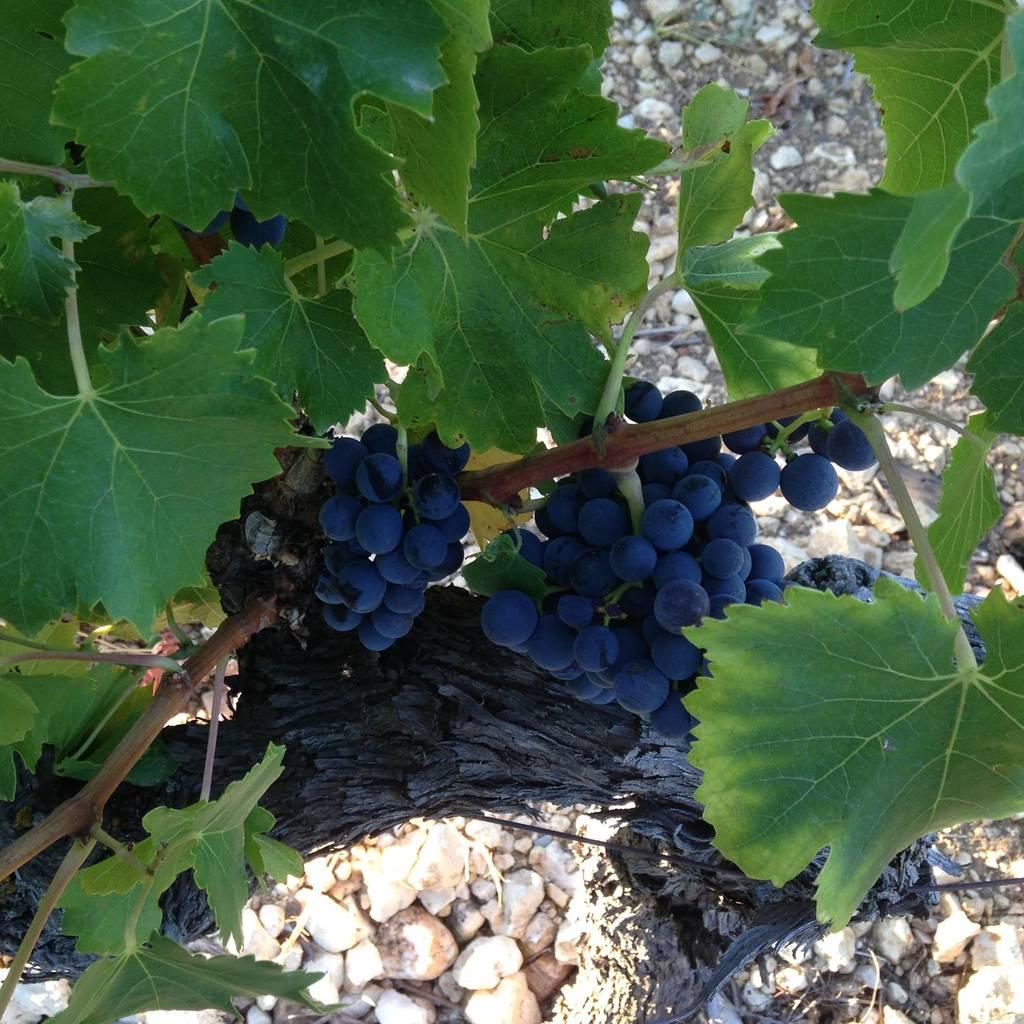 - Découverte de la vinification et dégustation de nos cuvées