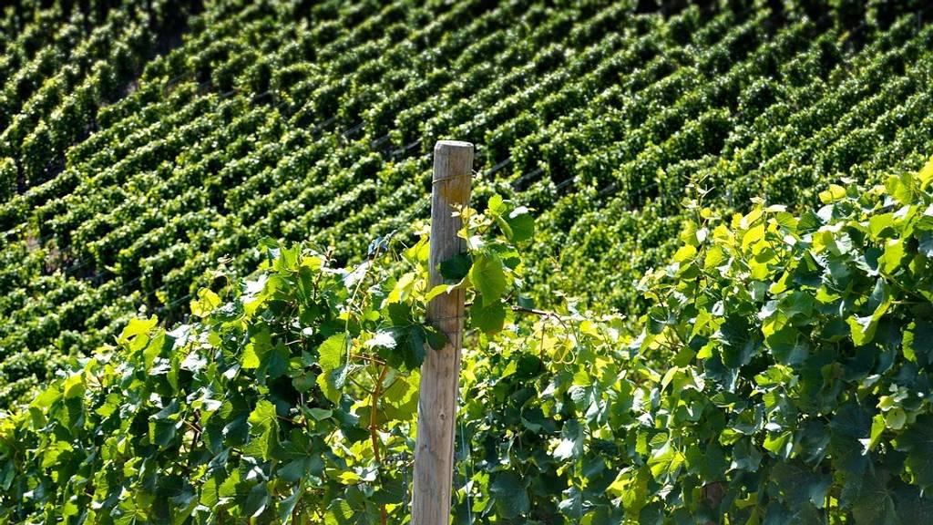 Vineyards Visit