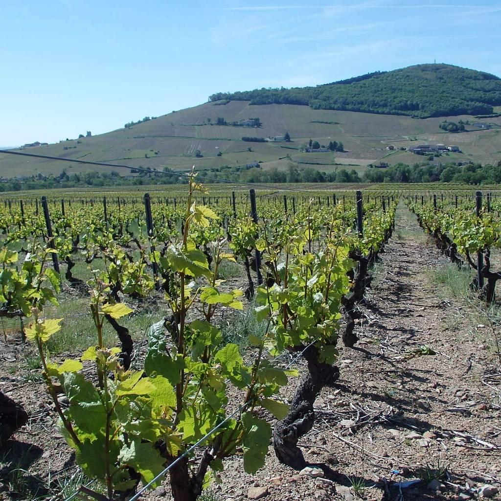 - Tasting, visit and Beaujolais mache