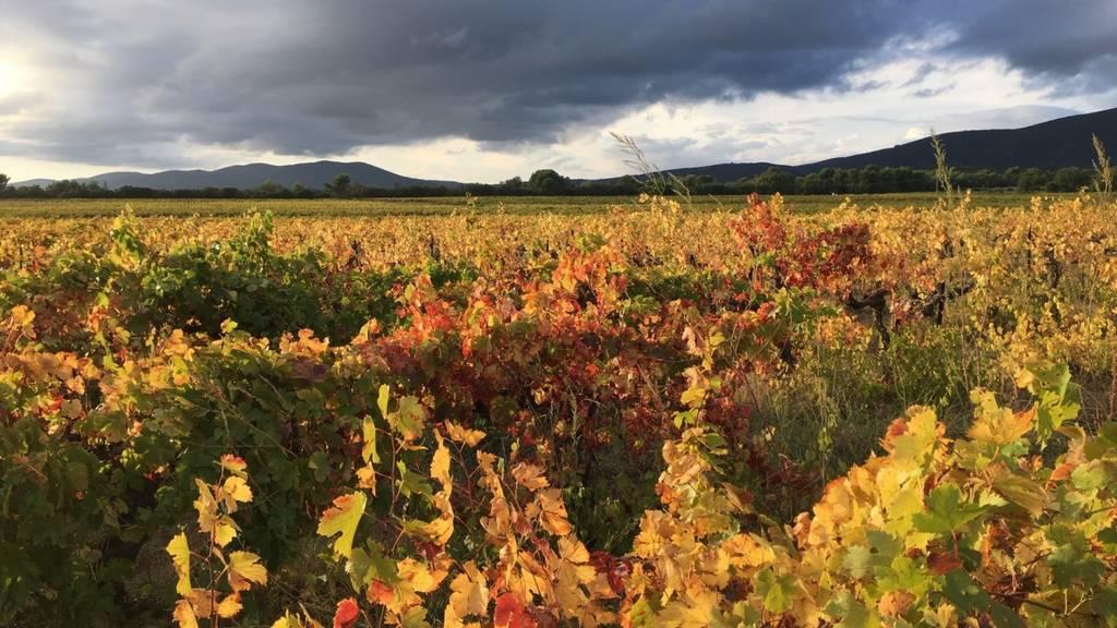 Comprender los orígenes del vino a través de la ampelografía
