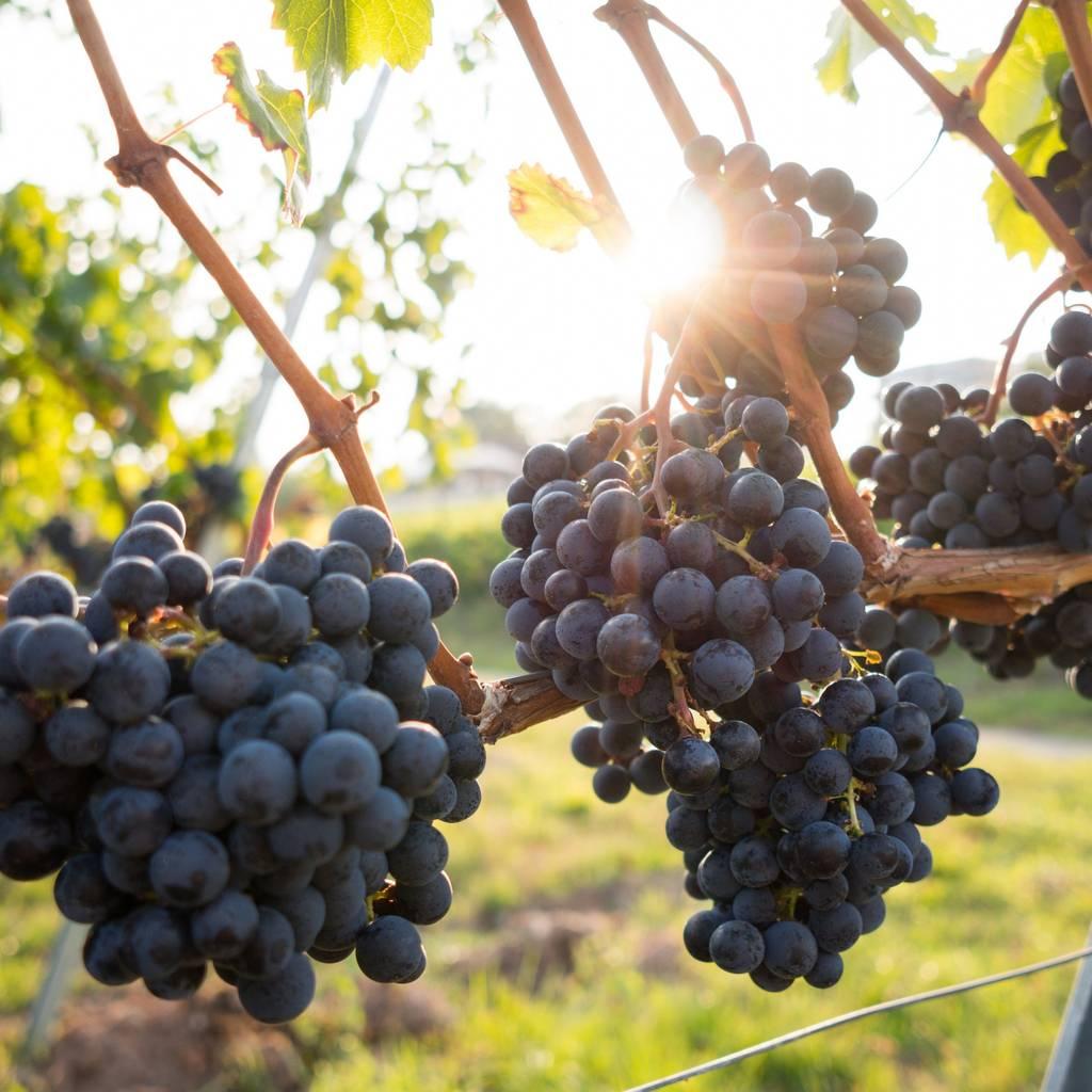 - Le Déjeuner vigneron en accords majeurs